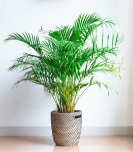 Areca Palm Bedroom Plant for Better Sleep