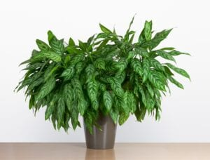 Chinese Evegreen Bedroom Plant for Better Sleep