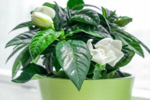 Gardenia Bedroom Plant for Better Sleep