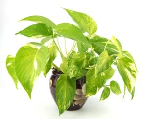 Golden Pothos Bedroom Plant for Better Sleep