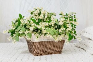 Jasmine Bedroom Plant for Better Sleep