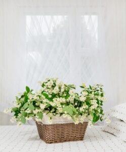 Jasmine Bedroom Plant for Better Sleep
