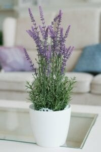 Lavender Bedroom Plant for Better Sleep