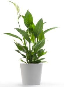Peace Lily Bedroom Plant for Better Sleep
