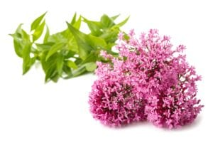 Valerian Bedroom Plant for Better Sleep